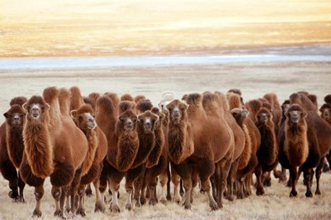С.Одонтуяа гишүүн тэмээг урамшууллаас хаслаа